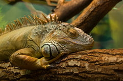 Sleeping iguana Royalty Free Stock Image