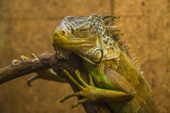 Sleeping Iguana Royalty Free Stock Photography