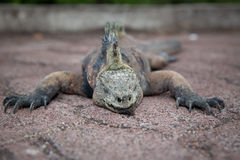 Sleeping Iguana Stock Image
