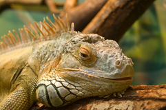 Sleeping iguana on a tree Royalty Free Stock Photos