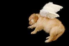 Sleeping innocent angel. Photo of innocent puppy wearing angel wing stock photography