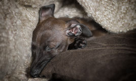 Sleeping Italian Greyhound Puppy Stock Photos