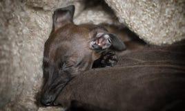 Sleeping Italian Greyhound Puppy Stock Photos
