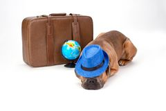 Sleeping italian mastiff, studio portrait. Cane corso italian dog in blue hat with travel suitcase and globe lying on white background, studio shot. Summer stock image