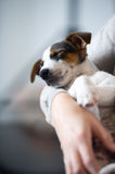 Sleeping jack russel terrier Stock Images