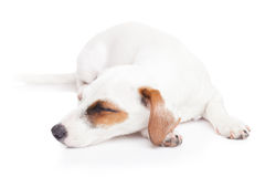 Sleeping Jack Russell terrier. On isolated white Stock Image