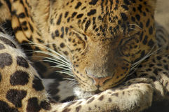 Sleeping jaguar Royalty Free Stock Images