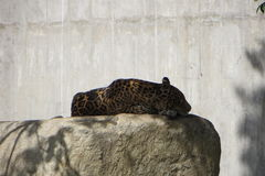 Sleeping Jaguar Stock Images