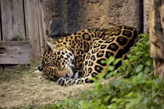 Sleeping Jaguar Royalty Free Stock Photos