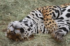 Sleeping Jaguar in the Phoenix Zoo. This is a photo of a jaguar, also call onca in South America, taken at the Phoenix Zoo in Arizona while I was on vacation Stock Photo