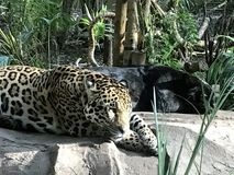 Sleeping Jaguars. Two jaguars, one spotted and one black Royalty Free Stock Photo