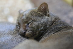 Sleeping jaguarundi Royalty Free Stock Photo