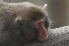 Sleeping japanese macaque portrait Royalty Free Stock Image