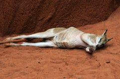 Sleeping Kangaroo. Sleeping Australian western grey Kangaroo royalty free stock photography