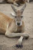 Sleeping kangaroo Royalty Free Stock Images