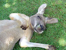 Sleeping Kangaroo. Kangaroo sleeping in a field royalty free stock image