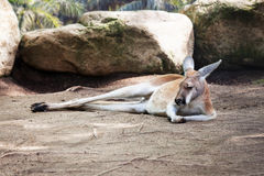 Sleeping kangaroo Stock Images
