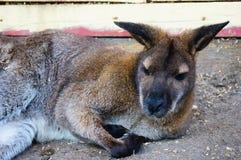 Sleeping Kangaroo in Canada. Royalty Free Stock Images