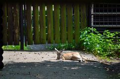 Sleeping kangaroo. Young kangaroo in captivity sleeping under the sunlight in zoo Royalty Free Stock Photography