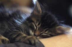 Sleeping Kitten. A sleeping kitten in the arms of its owner stock images