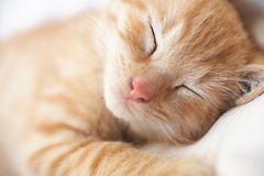 Sleeping kitten Stock Image