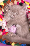 Sleeping kitten. Rare color (lilac) playing with a ball of yarn Stock Photography