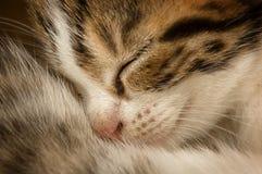 Sleeping kitten. Cute few weeks old kitten sleeping Royalty Free Stock Photo