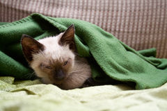 Sleeping kitten. Cute persian kitten sleeping on his bed Stock Images