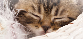Sleeping kitten Royalty Free Stock Photos
