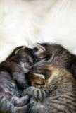 Sleeping kitten. Photo of Sleeping kitten, close up Royalty Free Stock Image