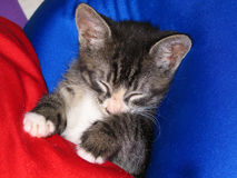 Sleeping Kitten. Kitten sleeping on pillow Royalty Free Stock Photography
