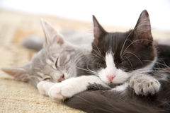 Sleeping kitten brothers Royalty Free Stock Images