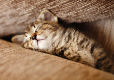 Sleeping kitten cat Stock Images