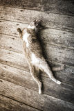 Sleeping kitten cat. On old wooden background Royalty Free Stock Image
