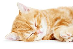 Sleeping kitten cat Stock Image