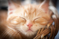 Sleeping kitten Royalty Free Stock Image