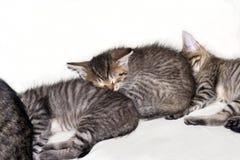 Sleeping kitten. Detail of the small sleeping kitten - domestic cat Stock Photos
