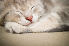 Sleeping  kitten face close up. Sleeping kitten  close up, animals, domestic cat, relaxing cat, cat resting Royalty Free Stock Image
