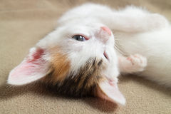 Sleeping  kitten face close up. Sleeping kitten  close up, animals, domestic cat, relaxing cat, cat resting Royalty Free Stock Photography