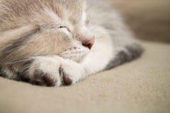 Sleeping  kitten face close up. Sleeping kitten  close up, animals, domestic cat, relaxing cat, cat resting Stock Photos