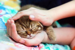 Sleeping kitten in female hands Royalty Free Stock Image