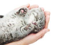 Sleeping kitten on hand. White background.British Shorthair cat Royalty Free Stock Photography