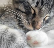 Sleeping kitten portrait Stock Image