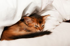 Sleeping kitten. Sleeping purebred somali kitten closeup Stock Image