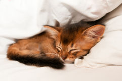 Sleeping kitten. Sleeping purebred somali kitten closeup Stock Photo