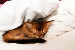 Sleeping kitten. Sleeping purebred somali kitten closeup Royalty Free Stock Photo