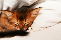 Sleeping kitten. Purebred sleeping somali kitten portrait with copy space Stock Photos