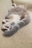 Sleeping kitten, rear view. Sleeping kitten  close up, animals, domestic cat, relaxing cat, cat resting Royalty Free Stock Images