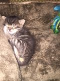 Sleeping kitten. On a soft furry cushion Royalty Free Stock Photos