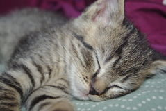 Sleeping Kitten. Sleeping tiger kitten's face and legs Stock Images
